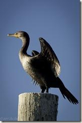 Cormorant in Charlotte Harbor