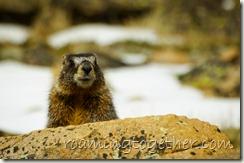 Marmot in Rocky Mountain National Park