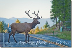 Elk Crossing The Road in Allenspark
