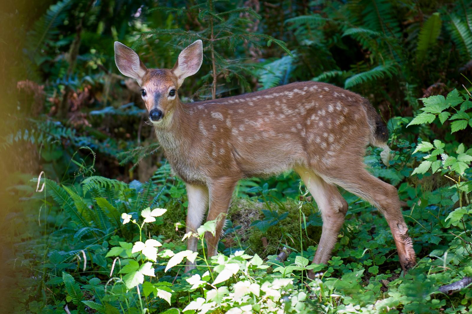 mule-deer-fawn-hoh-rain-forest