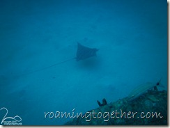 Eagle Ray in Wreck Alley