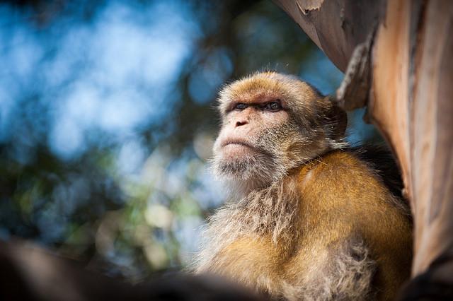2015.09.12 Barbary Apes